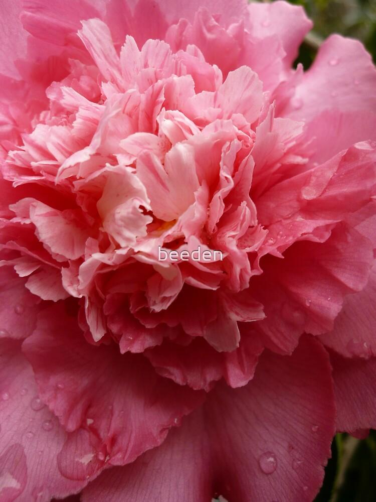 Camellia 3-5 by beeden