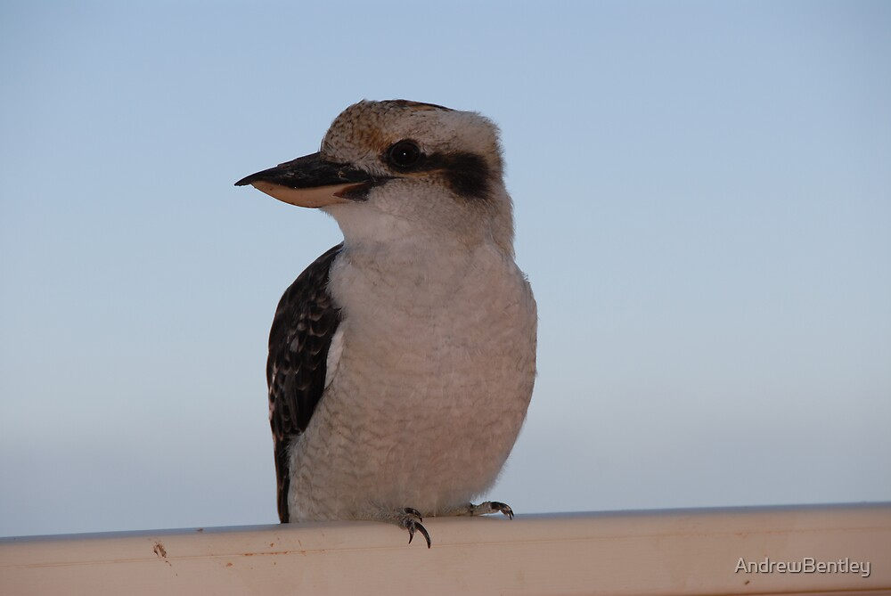 Kookaburra by AndrewBentley