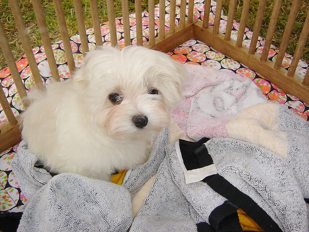 BABY MALTESE by the6tees