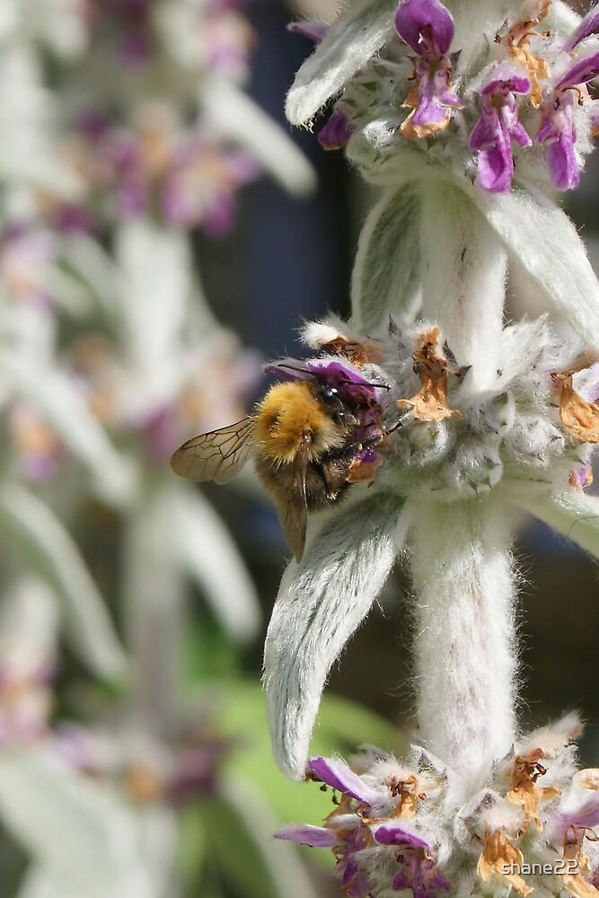 Bee on Lambs Ear III by shane22