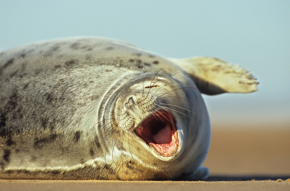 Laughing Seal by Kasia Nowak