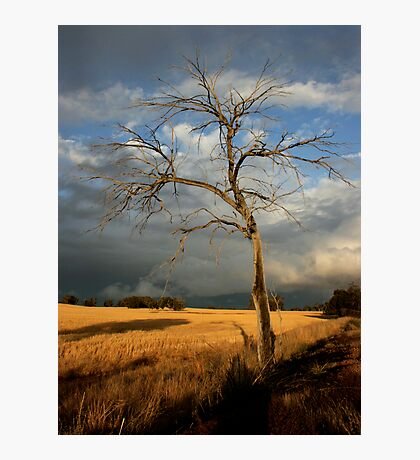 dead tree /clearing storm Photographic Print