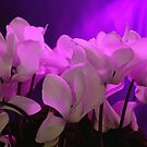Cyclamens. by S Fisher
