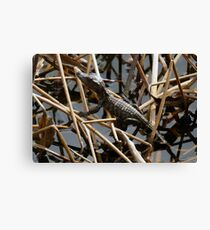 Baby Gator in the marsh Canvas Print