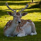 Deer by Glen Allen