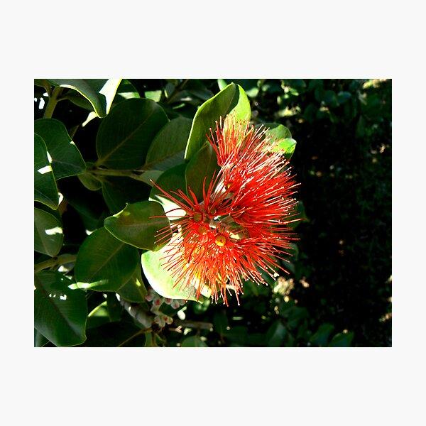 Red, New Zealand Christmas Bush Photographic Print