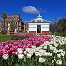 1718 Tulips in Bendigo by Hans Kawitzki