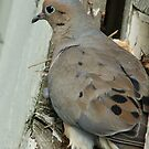 Nesting Pigeon by Perspective