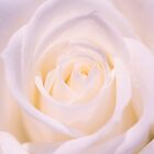 The Innocence Of  White English Rose by daphsam