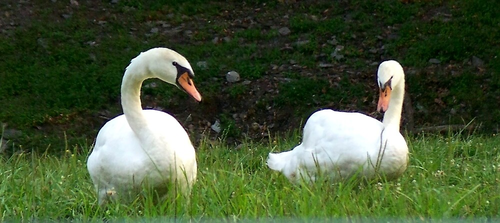 The language of Swans by Judi Taylor