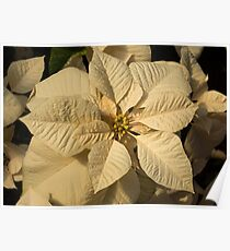 Elegant Ivory Poinsettia - An Exotic Christmas Greeting Poster