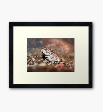 Red-spotted Toad Framed Print