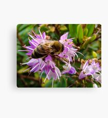 Bee on Hebe Canvas Print