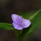 Spiderwort by Gary L   Suddath