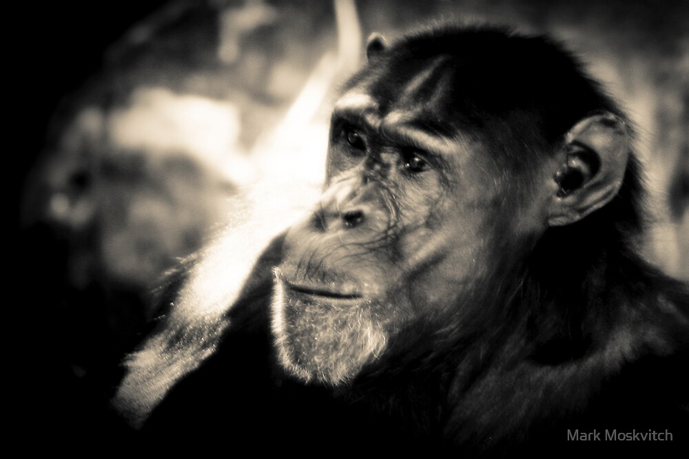 Chimpanzee by Mark Moskvitch