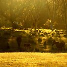 Brumbies. by S Fisher