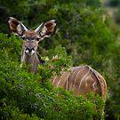 Kudu by Viv van der Holst