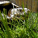 Turtle In The Grass 1 by steelwidow