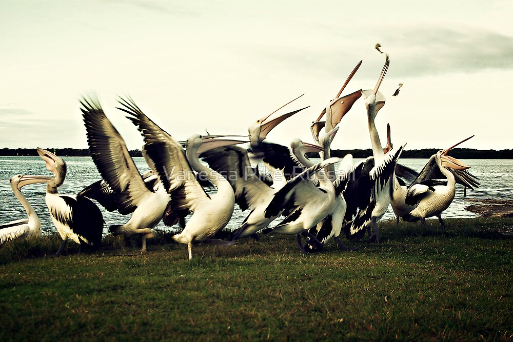 Travel, QLD Sunshine Coast: Pelicans scrabble for scraps by Vanessa Pike-Russell