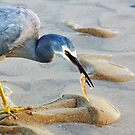White faced heron with a lovely catch by cs-cookie