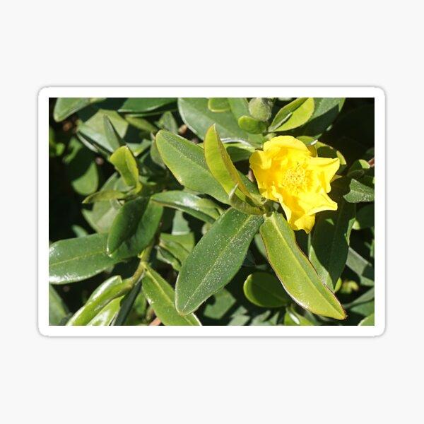 Hibbertia scandens Sticker
