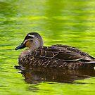 Black Duck, Wilson Park lake, Berwick, Victoria. by johnrf