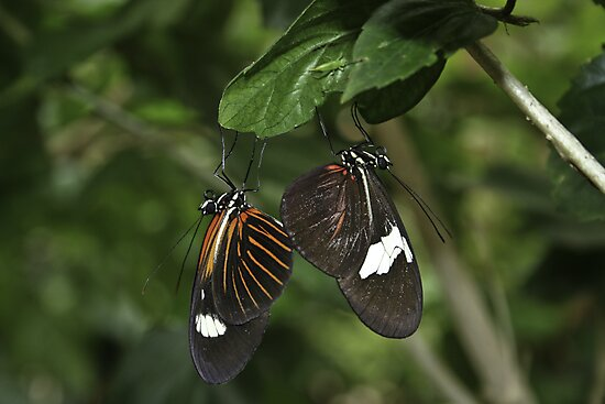 A Butterfly Pair by Roxanne Weber