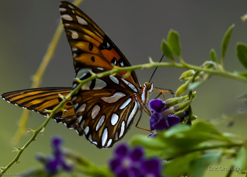 Gulf Fritillary Butterfly by Eric Ordinario