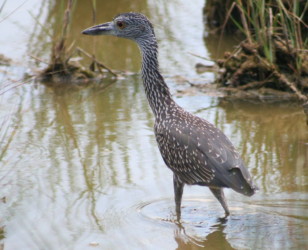 Young Yellow Crowned Night Heron by declown