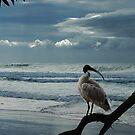 sacred white ibis by carol brandt