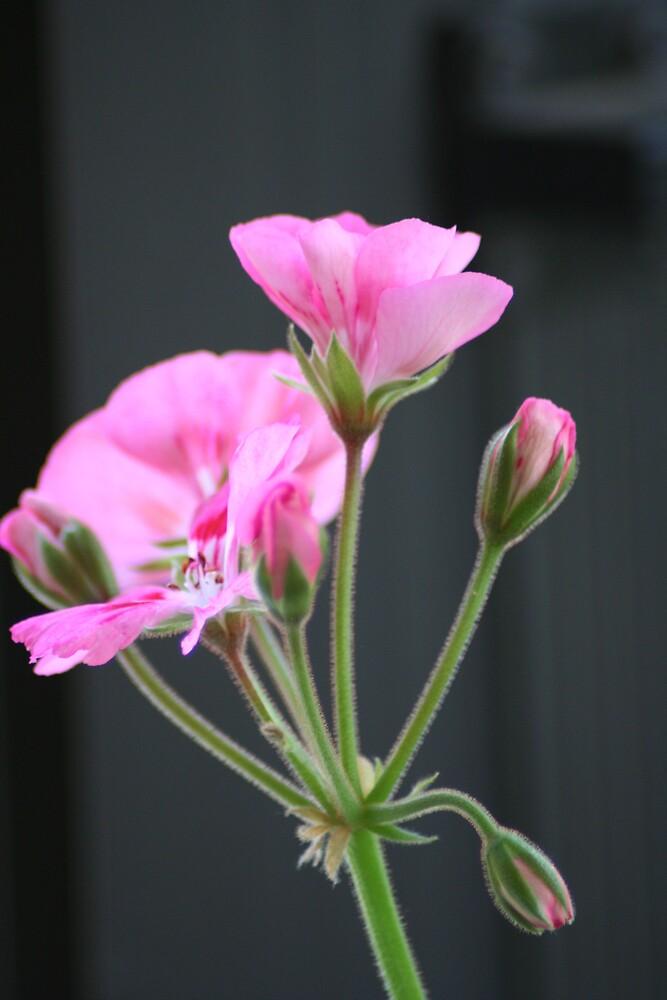 Phyl's Pink Passion by Lori Walton