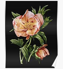 Hybrid Tree Peony Illustration by Pierre-Joseph Redouté  Poster