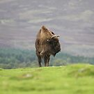 European Bison by Dorothy Thomson