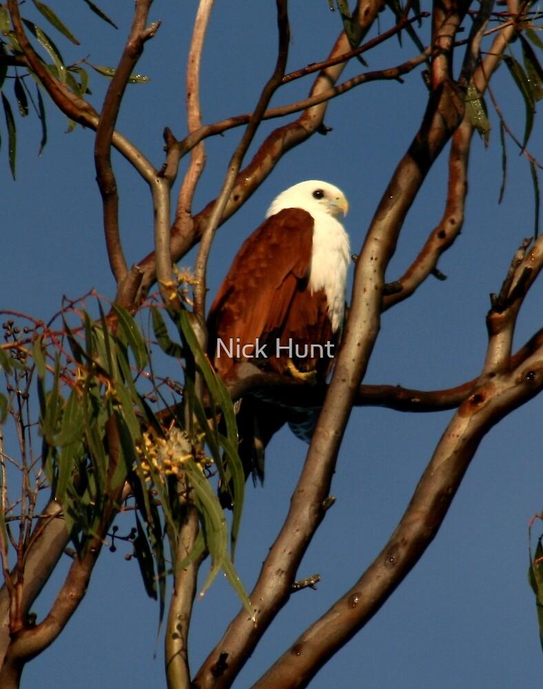 Brahminy Kite at rest by Nick Hunt