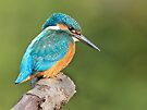 Kingfisher 2 by Alan Forder