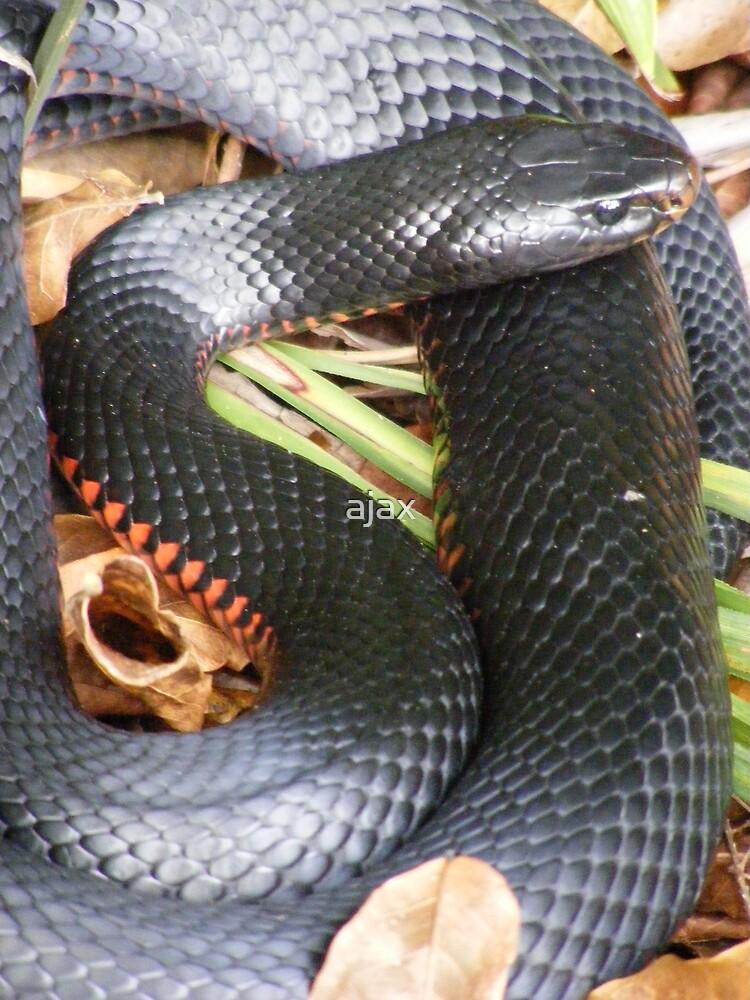 red belly black snake 4 by ajax