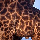 What is the plural for giraffe? by Wild at Heart Namibia