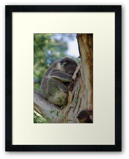 Koala by bekyimage