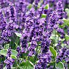 Lavender by Artway