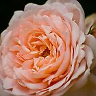Peach  by LudaNayvelt