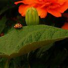 Rambl'n Ladybug  by Richard G Witham