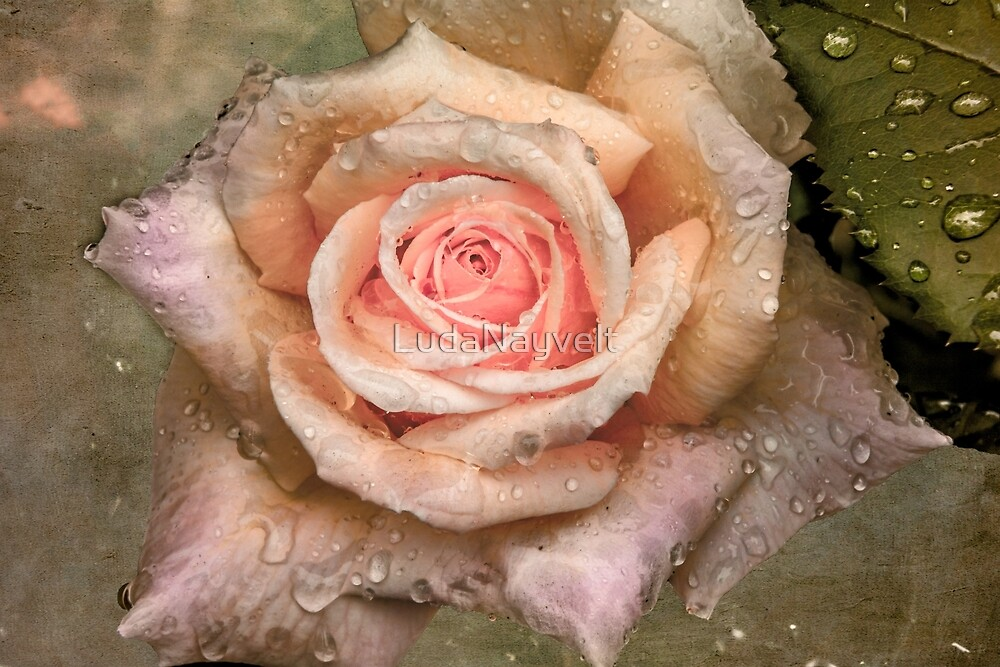 Vintage rose with water drops by LudaNayvelt