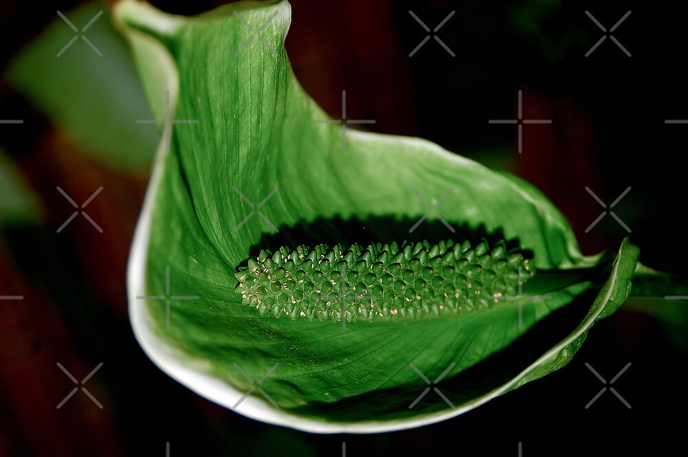 """THE POLLINATED """"PEACE LILY' IN GREEN by Magriet Meintjes"""