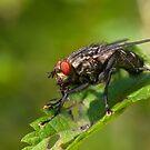 Grey fleshfly by Erik Schlogl