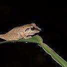 Robber Frog, Parque Nacional del Manu, Peru by Erik Schlogl
