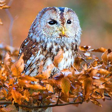 Tawny Owl by Femaleform
