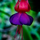 Fuschia by David Mapletoft