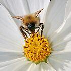 Bee & White Cosmos by AnnDixon