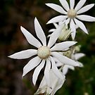 Flannel Flower, Glenbrook by David Mapletoft
