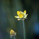 Straw Flower by AnnieD